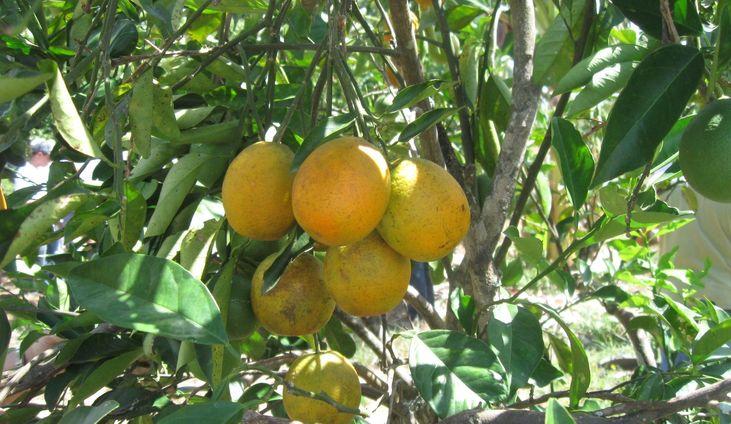 Ministério da Agricultura reconhece ausência de cancro cítrico na Bahia